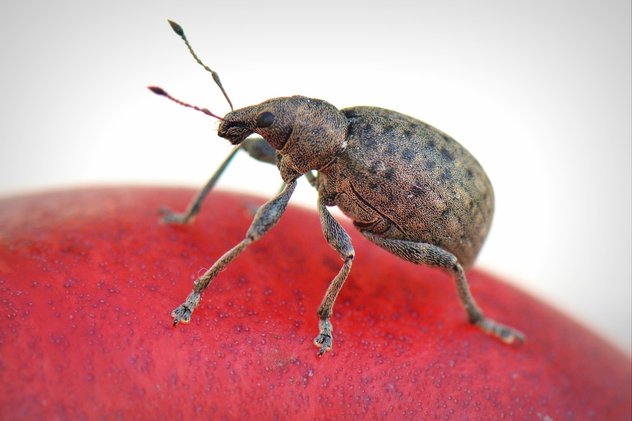 Bug on red apple
