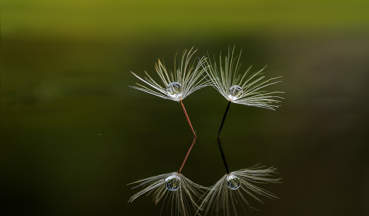 Reflection in water: Dandelion seed
